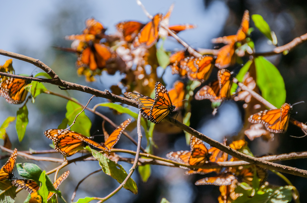 Reserva de la mariposa Monarca michoacan